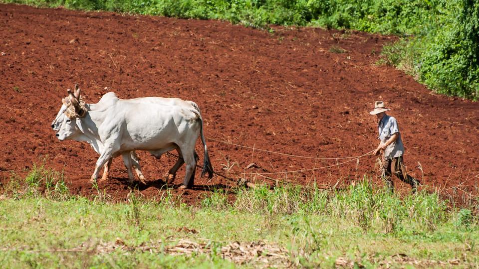 Trabajando la tierra con bueyes