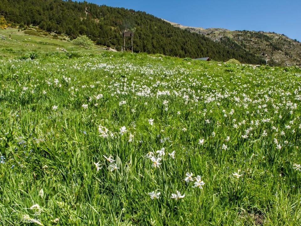 Grandallas-flor-tipica-Andorra