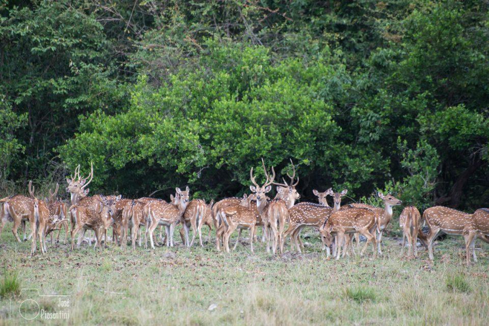 Ciervos-Sri-Lanka