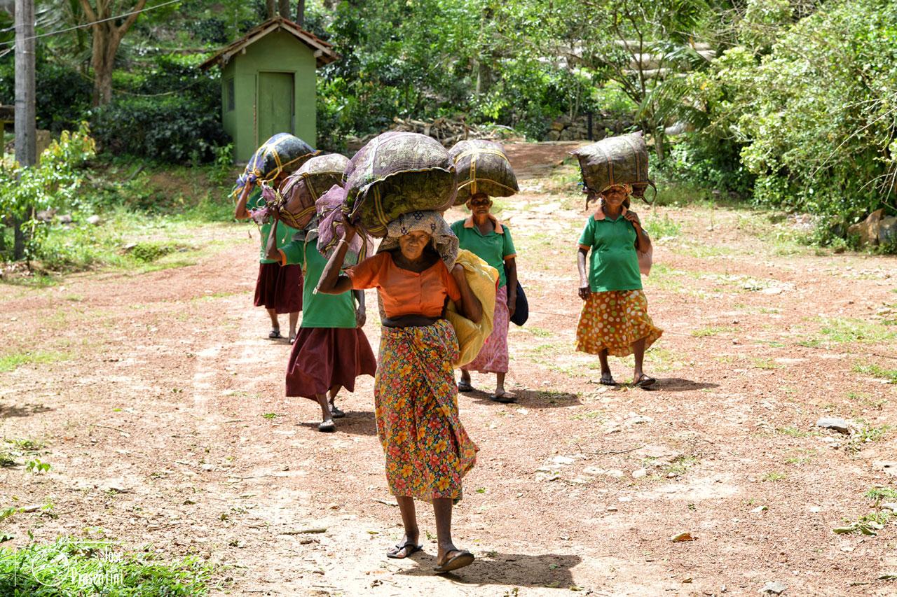 workers-Handunugoda-Tea-Factory - Que hacer en Sri Lanka con niños