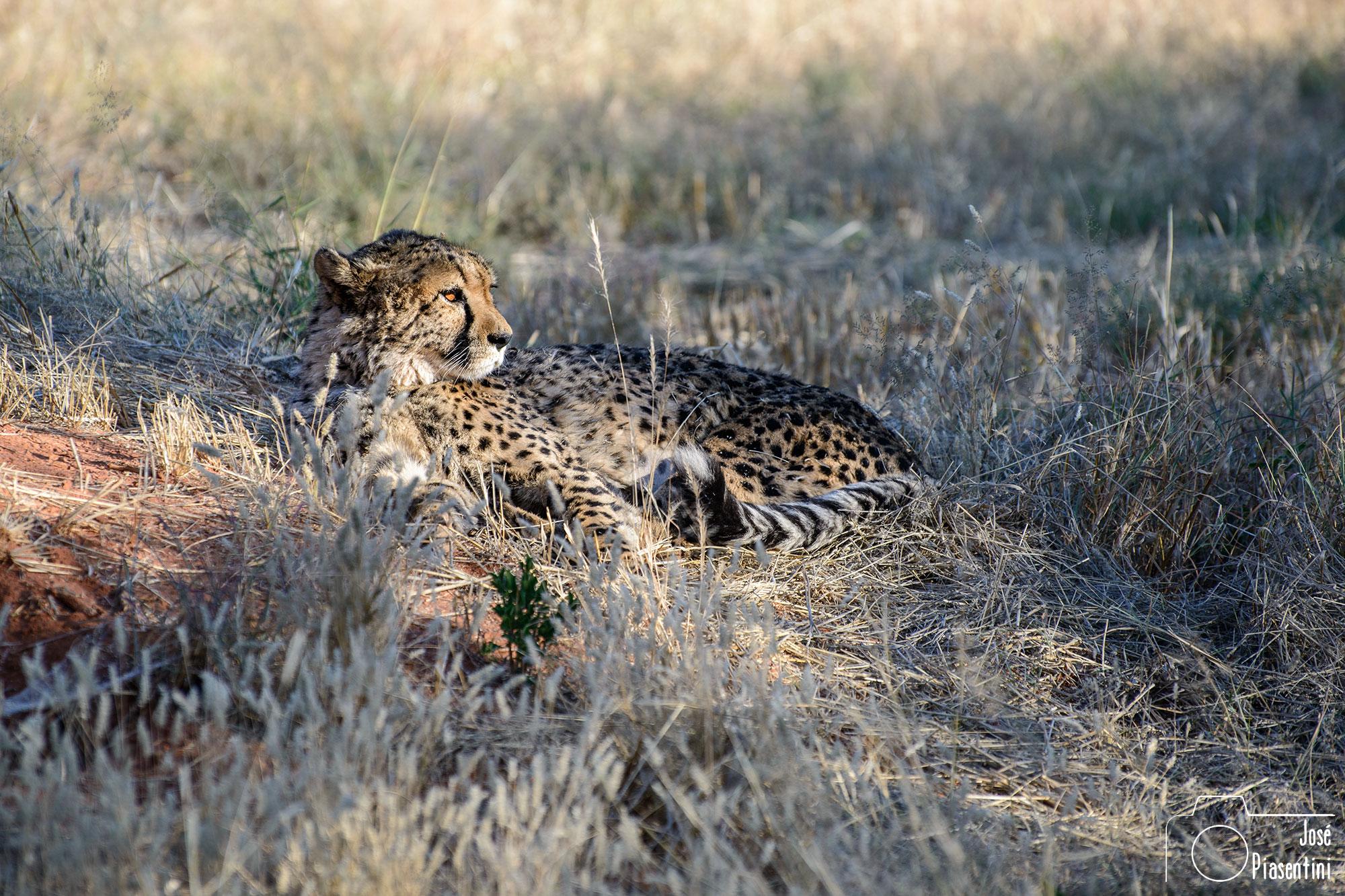 Cheeta-Okonjima