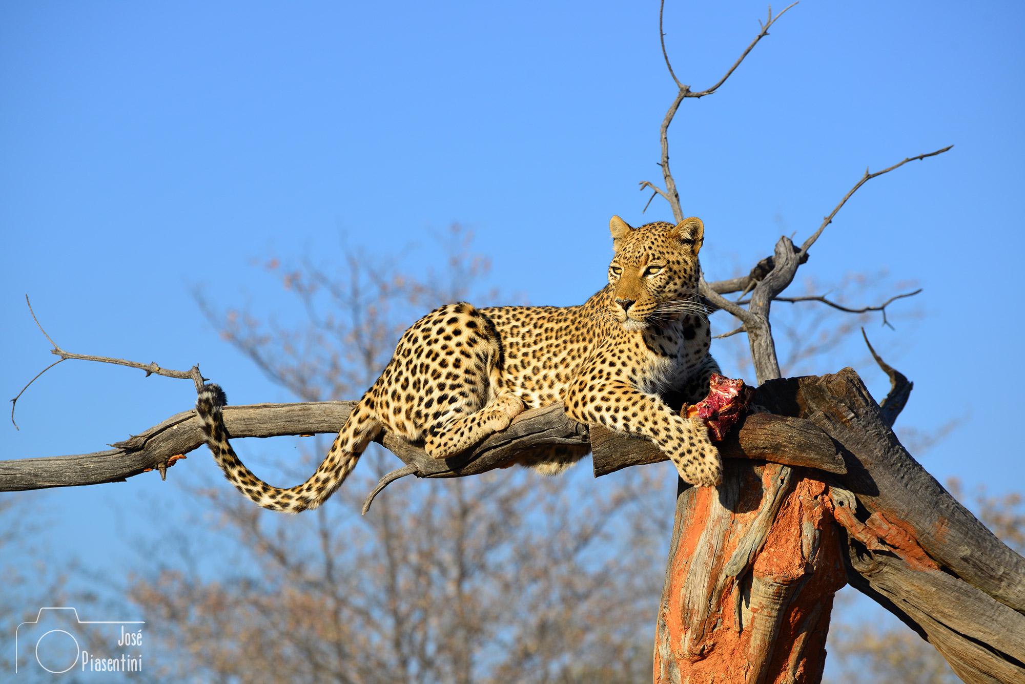 Okonjima-Nature-Reserve-Leopard