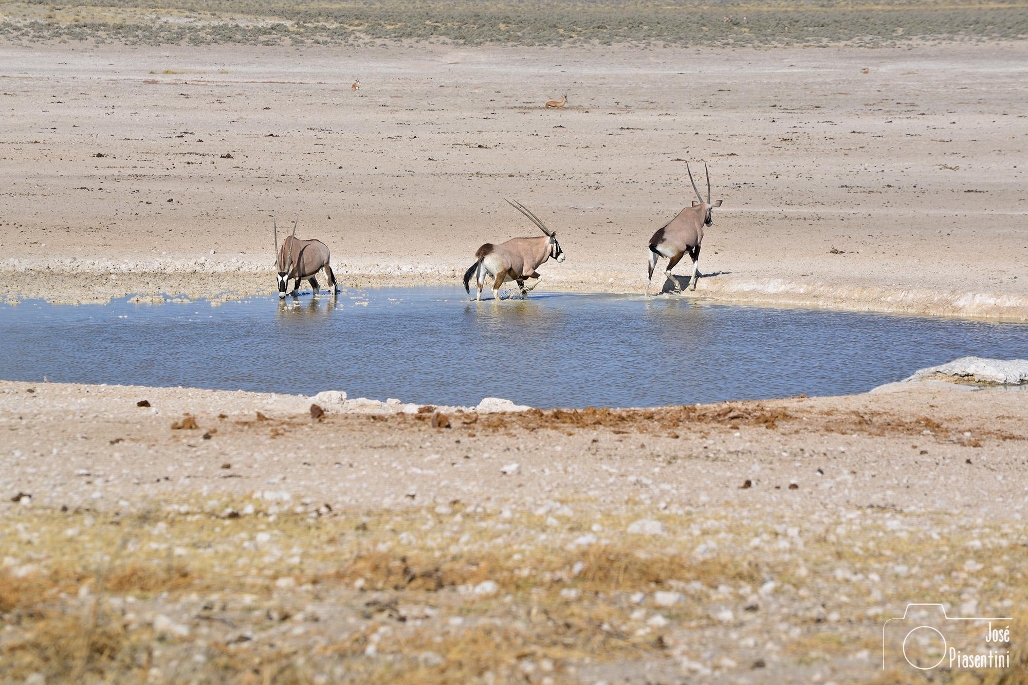 Etosha pan oryx