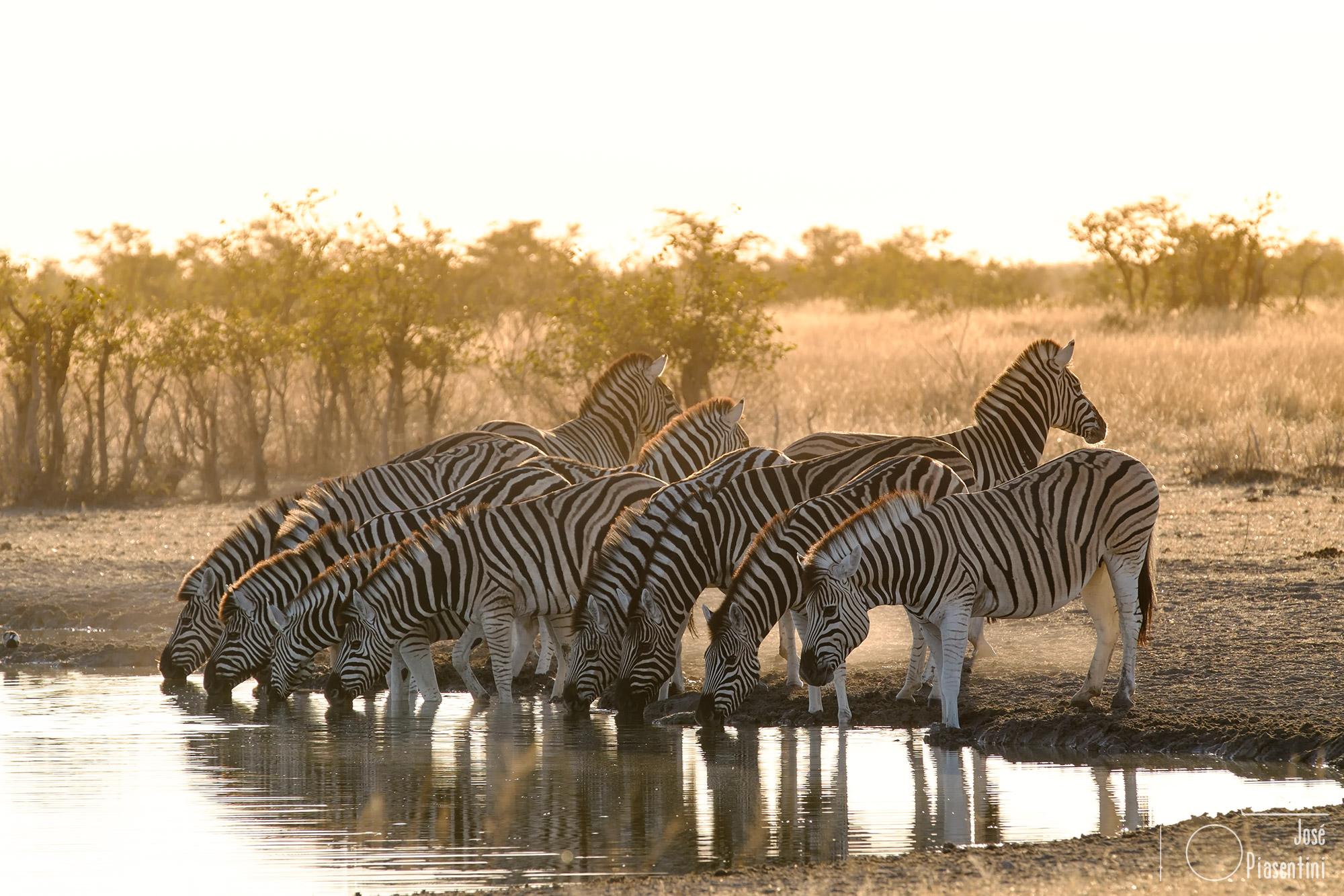 Cebras Etosha park