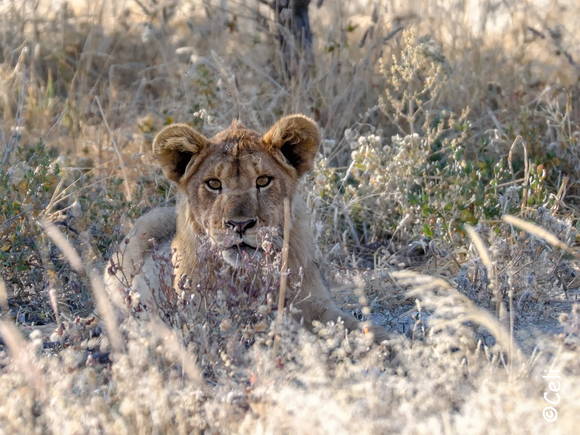Lion at Etosha national park