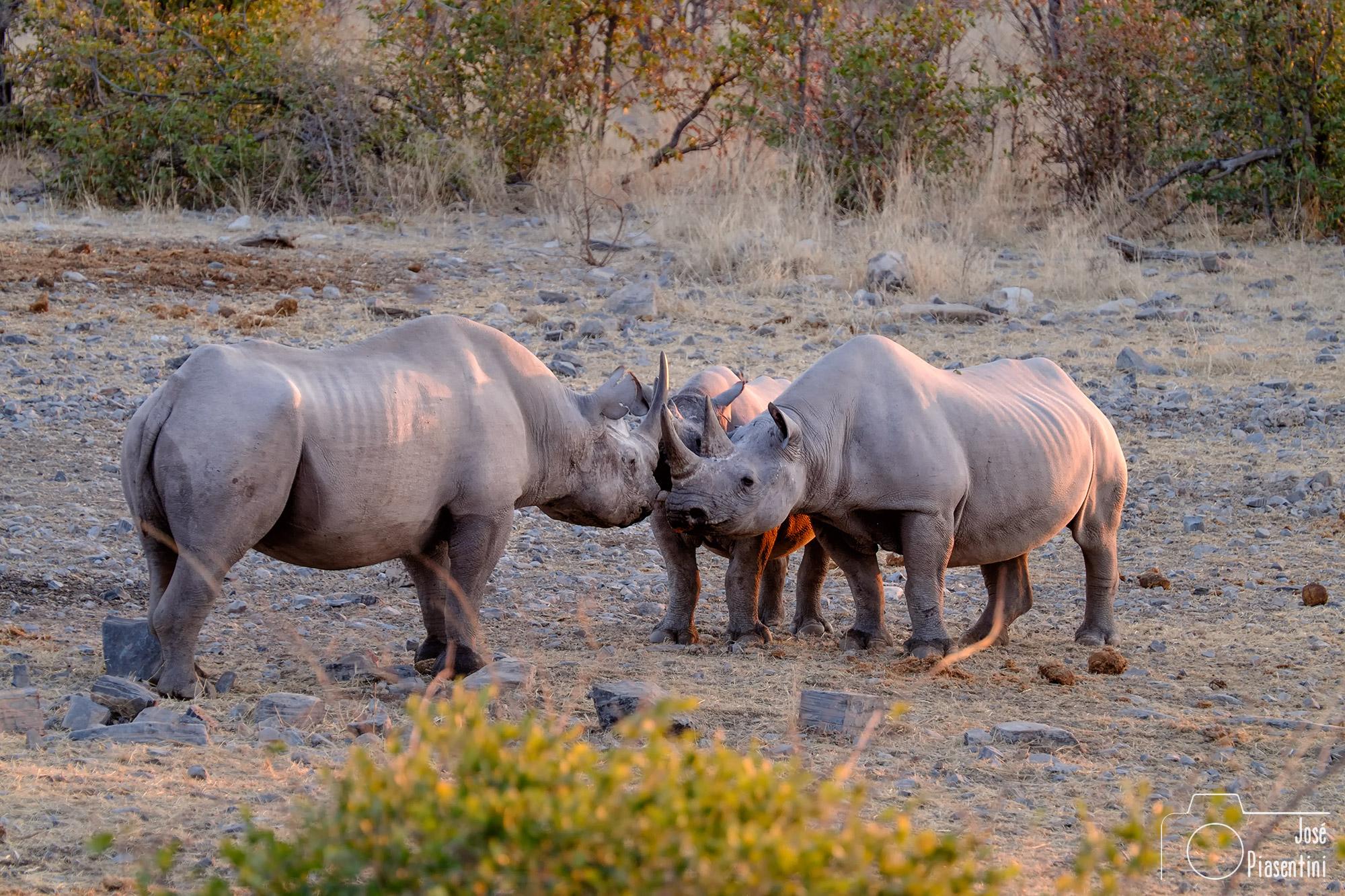 Rhinos in Etosha Park