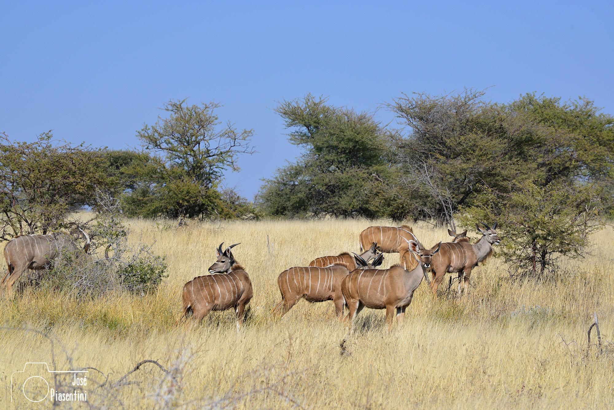 Kudu en Etosha