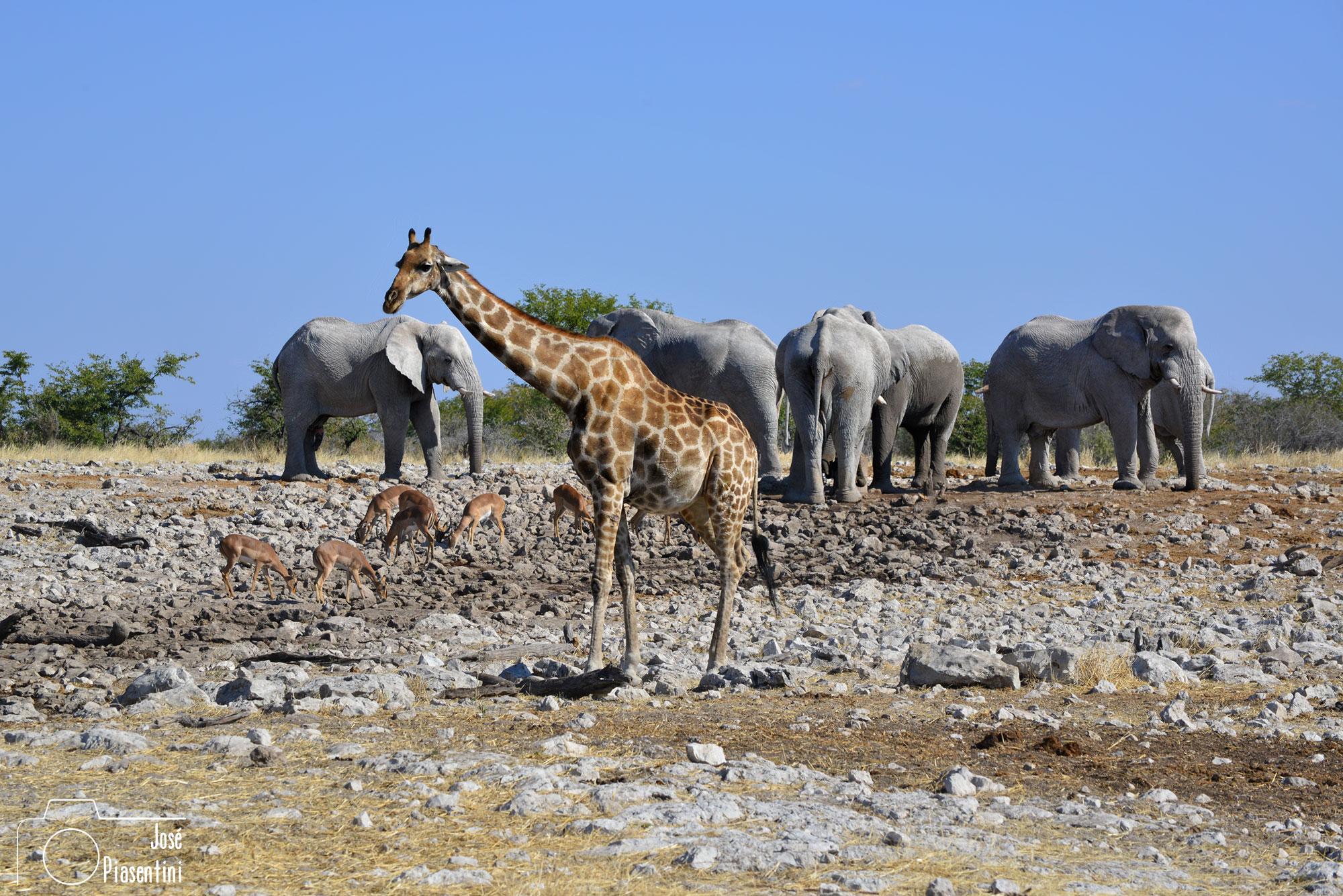 Jirafas y elefantes en Etosha
