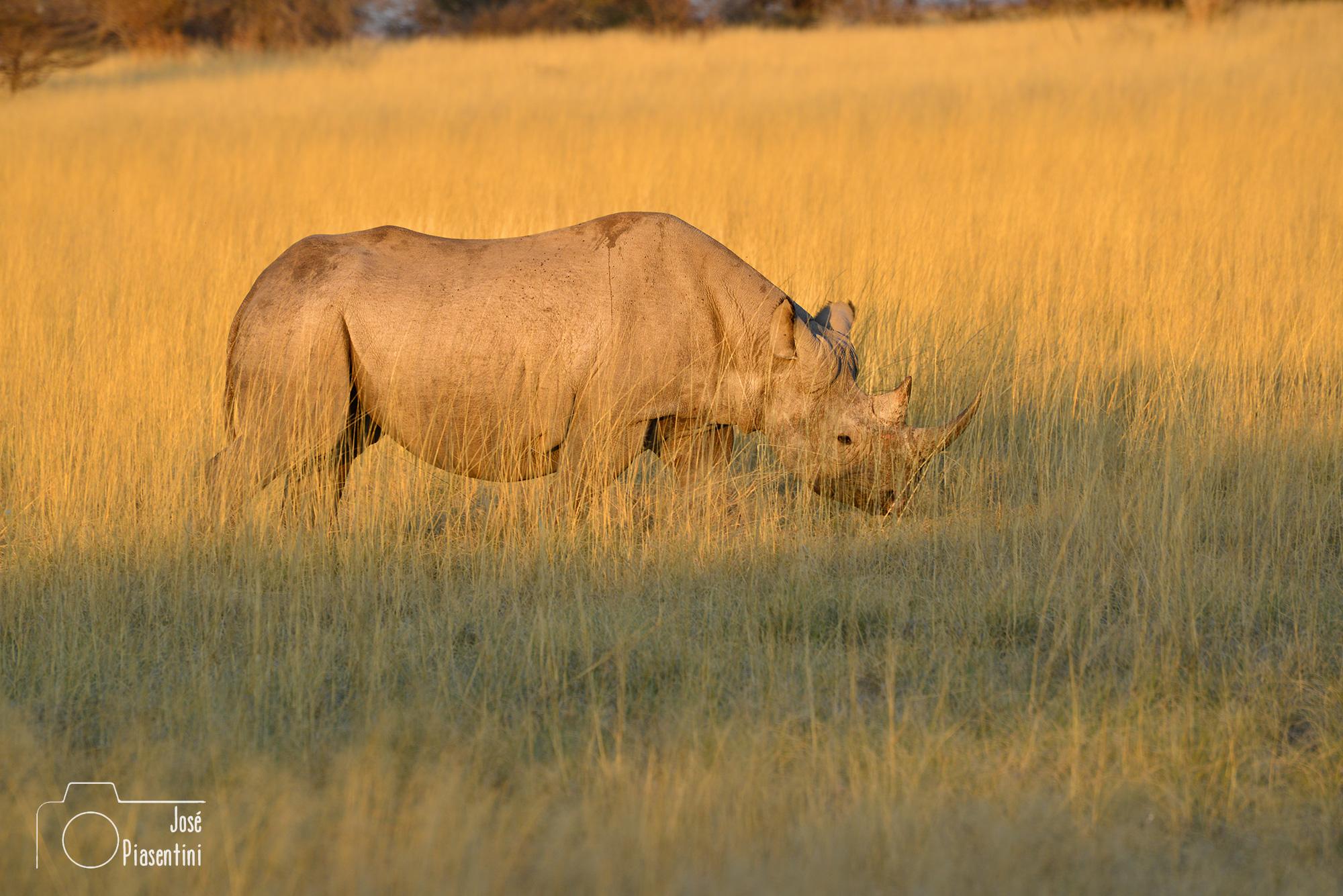 Etosha Rhino
