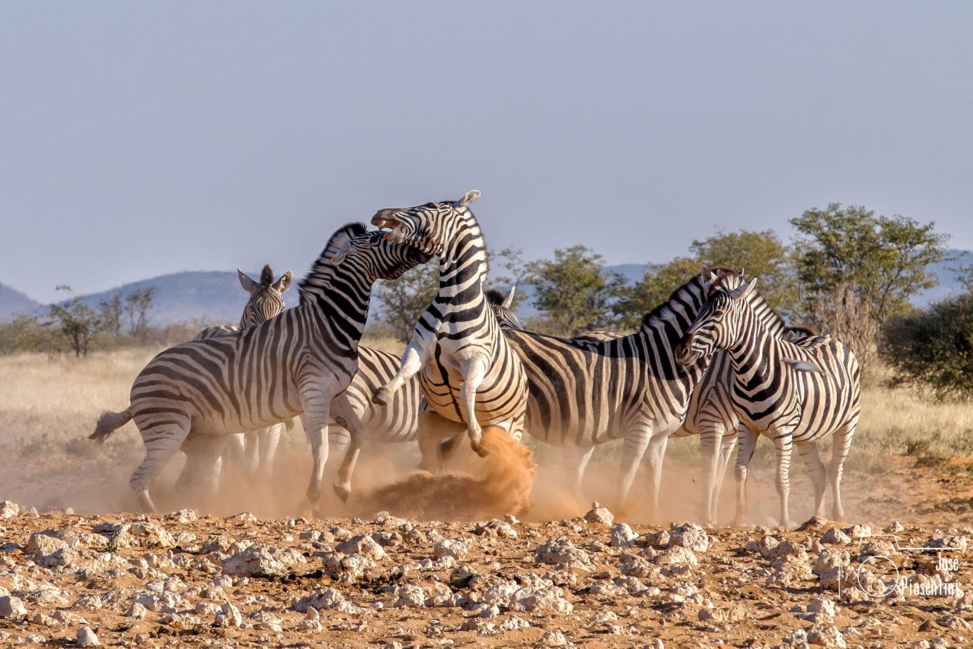 Cebras peleando en Etosha