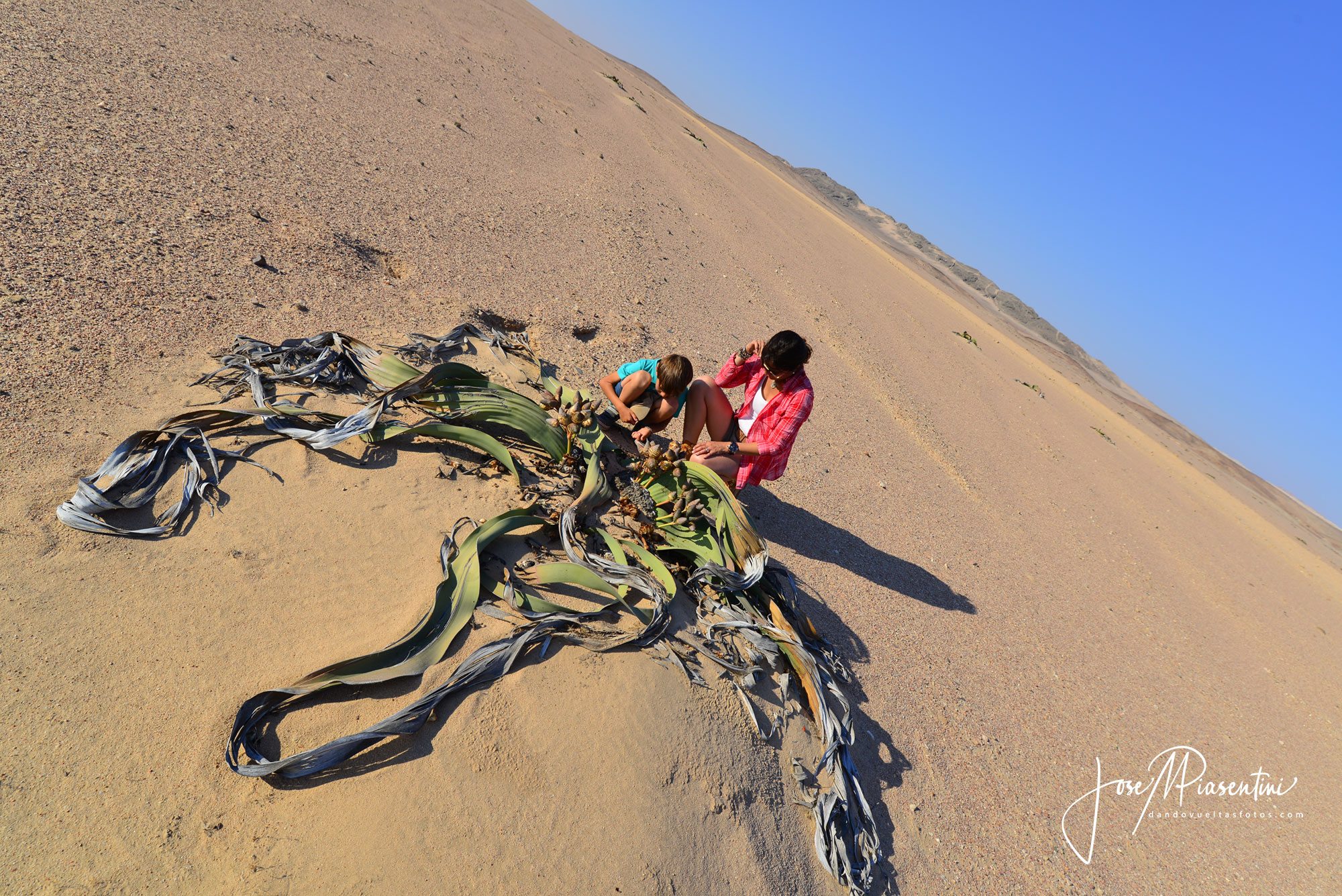 Welwitschia mirabilis namib desert