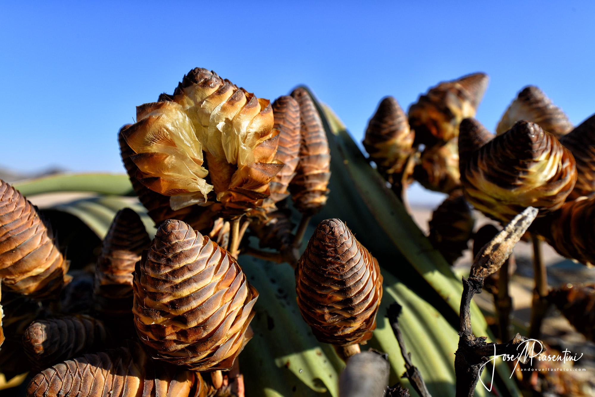 Welwitschia_mirabilis_fruit
