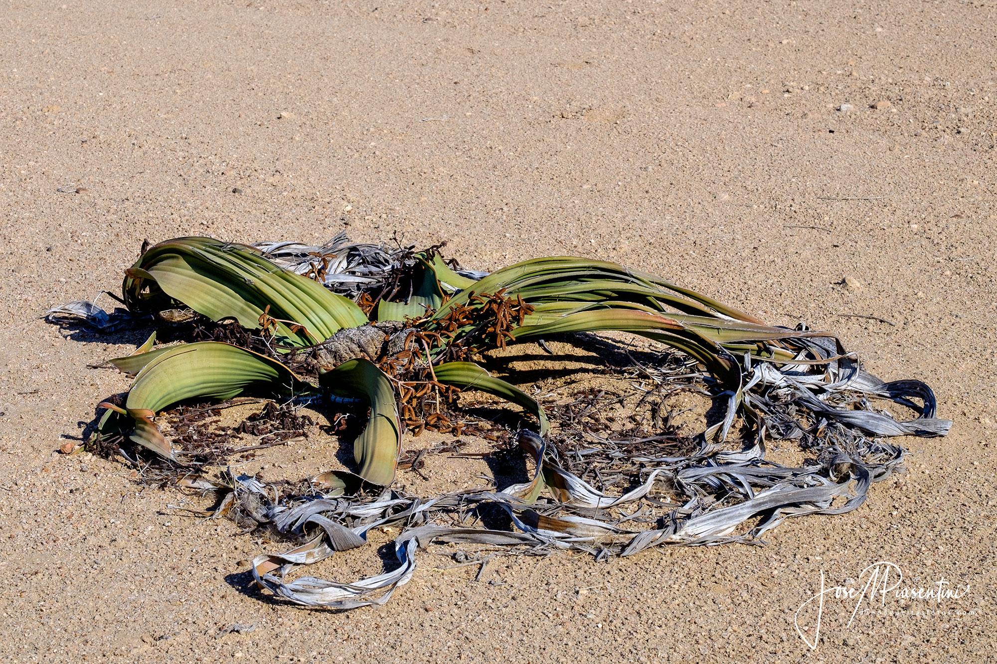 Welwitschia-mirabilis-Namib