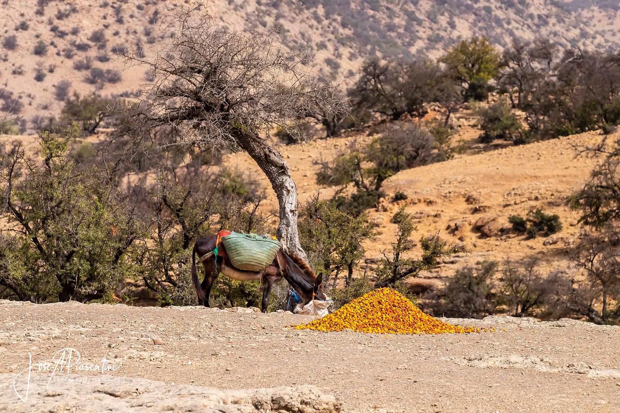 Argan de Marruecos